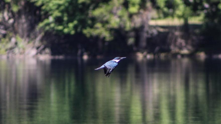 martin-pescador-en-vuelo-2